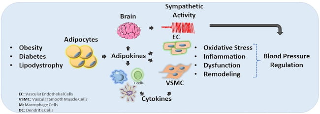 Adipocytes-derived Hormones and Cardiovascular Function