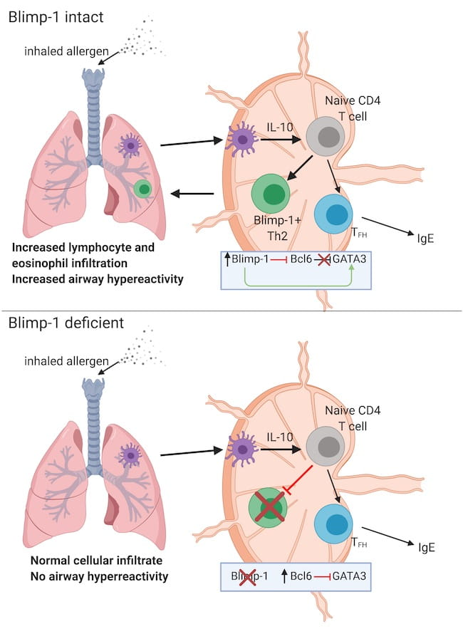 Blimp-1 promotes Th2 cells in allergic asthma (Created with BioRender.com)