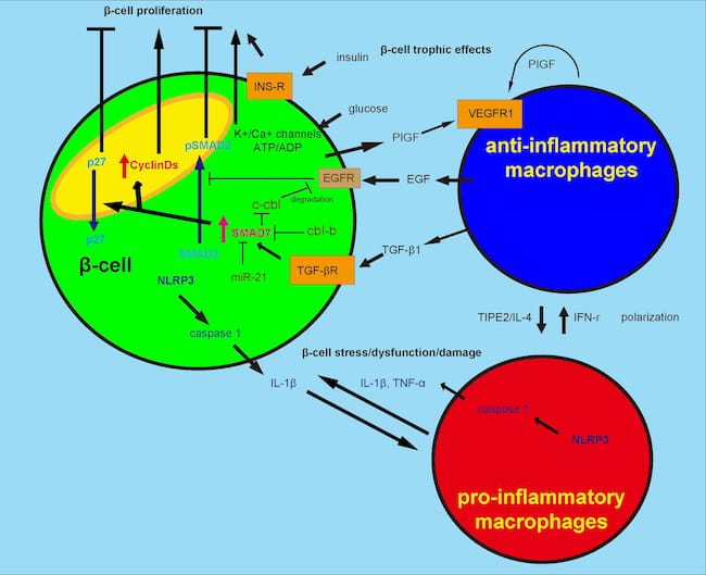 Macrophages mediate the response of beta cells to metabolic needs and inflammatory insults.